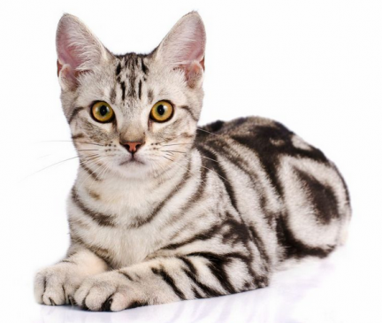 American Shorthair Breed