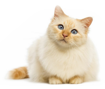 Birman Breed
