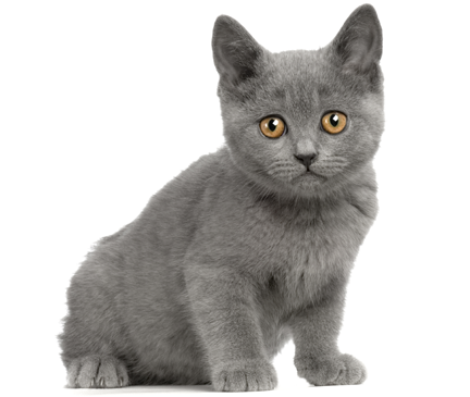 Chartreux Breed