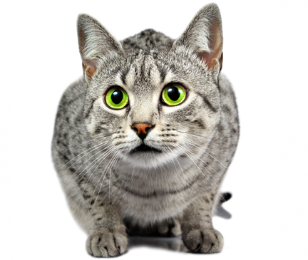 Egyptian Mau Breed