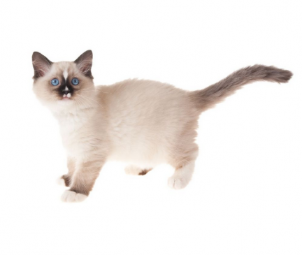 Available Ragdoll Kittens For Sale & Cats For Adoption