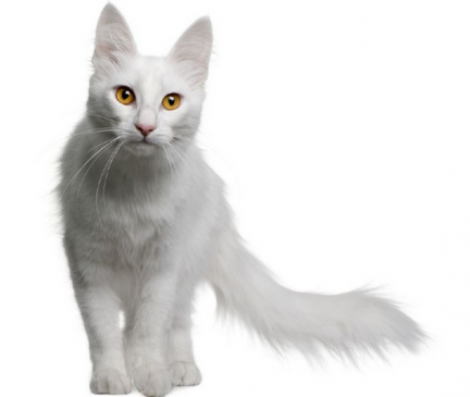 Turkish Angora Breed