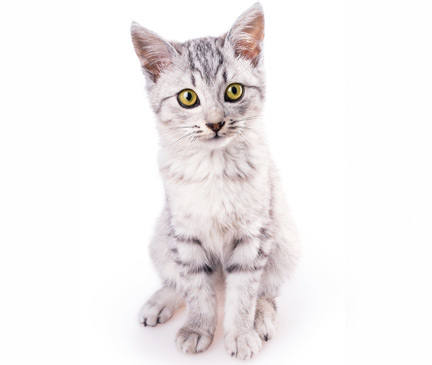 American Wirehair Breed