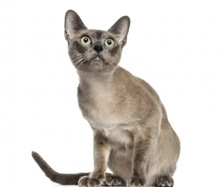 Tonkinese Breed