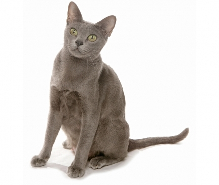 Korat Breed