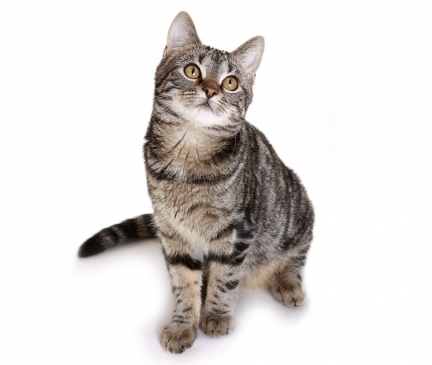 European Shorthair Breed