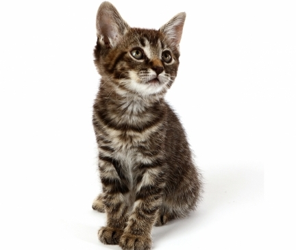 Available Manx Kittens For Sale & Cats For Adoption