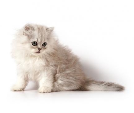 Persian Breed