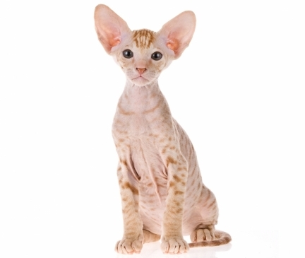 Peterbald Breed
