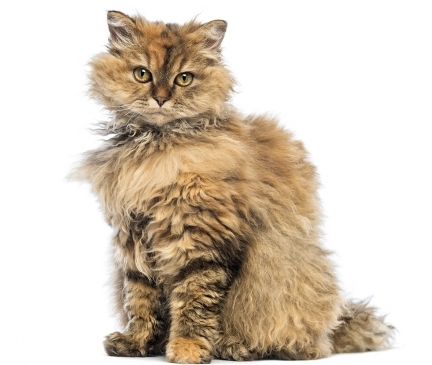 Selkirk Rex Breed