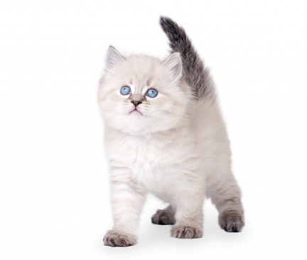 Available Siberian Kittens For Sale Cats For Adoption