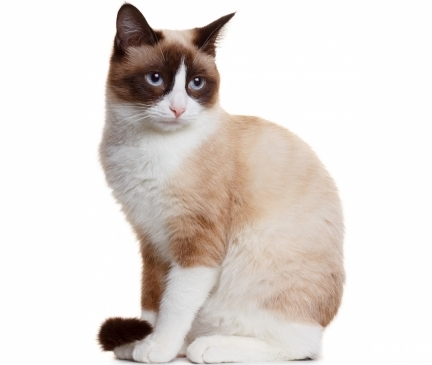 Snowshoe Breed