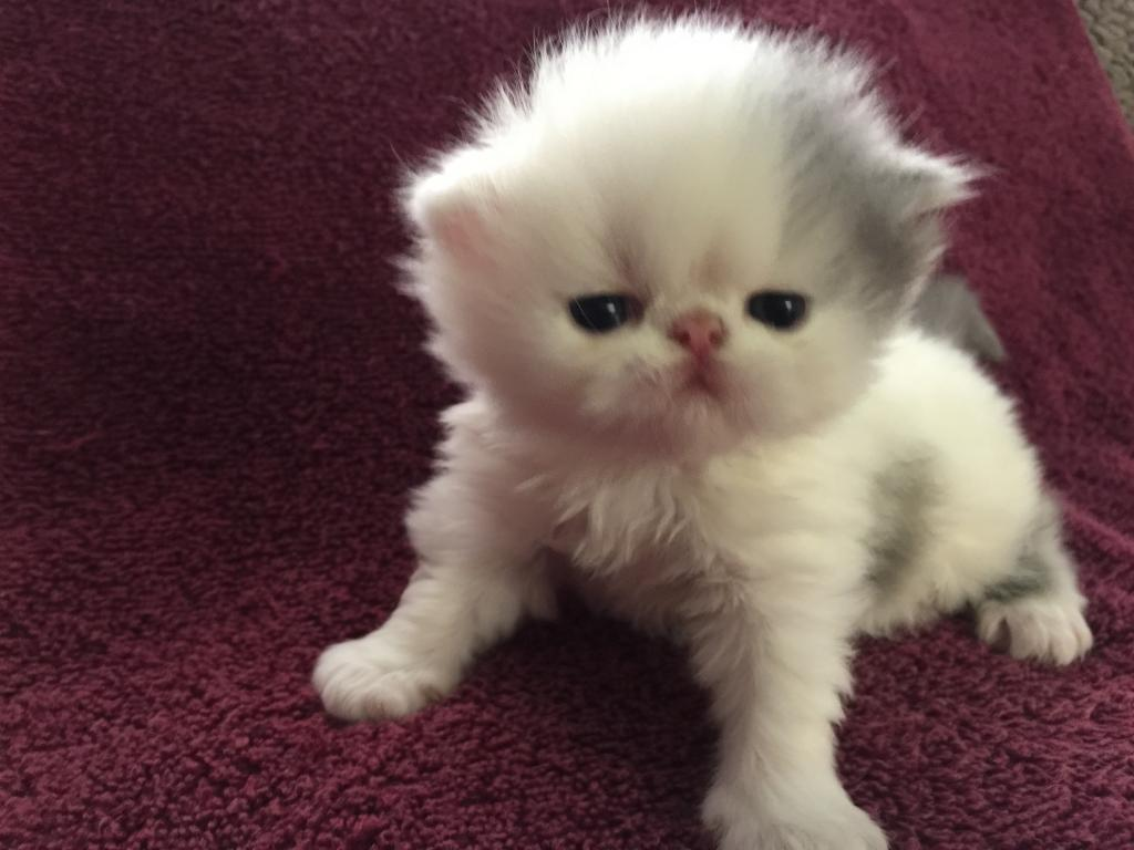 Where to buy exotic shorthair kittens