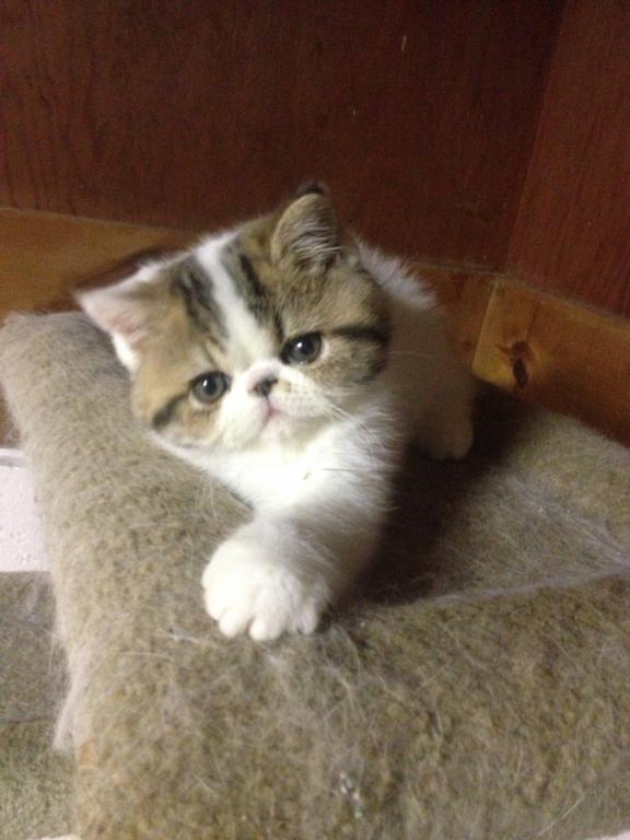 Summer Babies Avail - Male & Female Exotic Kittens For Sale in New