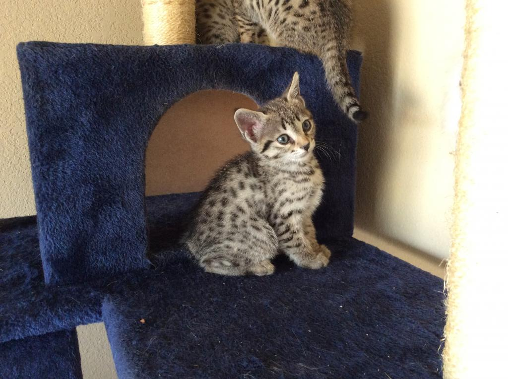 Two F3 Female Savannah Kittens - Female Savannah Cat For