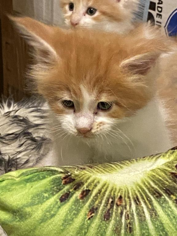 Litter B Male Amp Female Maine Coon Kittens For Sale In South Carolina United States Profile