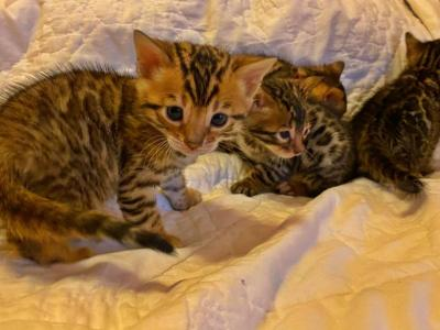Repeat Litter Born Sept Call Or Text Now - Bengal - Gallery Photo #1