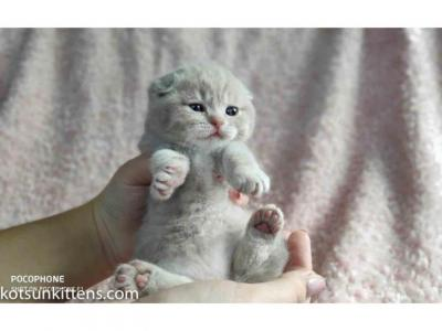 Muffin Tender Baby Boy Lilac Tabby Color - Scottish Fold - Gallery Photo #1