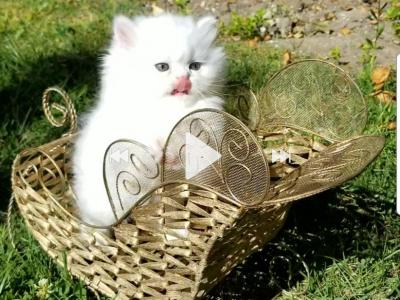 Gorgeous Dollface Persian White Male - Persian - Gallery Photo #1