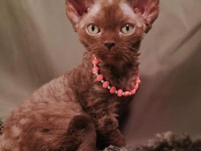 Kittens Available - Devon Rex - Gallery Photo #1