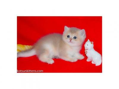 Oyster Rare Color Boy British Blue Golden Shaded - British Shorthair - Gallery Photo #1