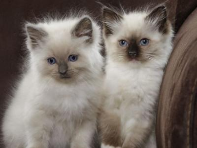 Gorgeous Males & Females Available - Ragdoll - Gallery Photo #1