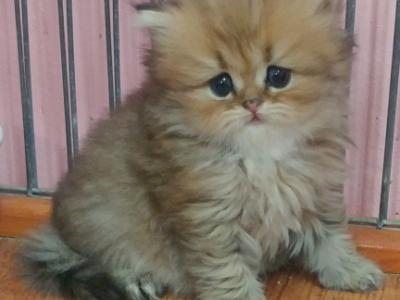 Golden Persian Kitten For Sale In Wisconsin - Persian - Gallery Photo #1