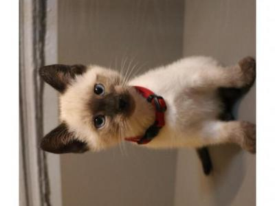 Red - Siamese - Gallery Photo #1