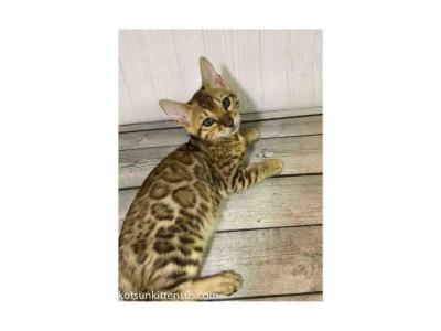 Bengal Bright Leopard Tabby & Snow Girls And Boys - Bengal - Gallery Photo #1