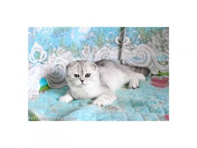 LOS ANGELES Scottish Fold Silver Shaded Color - Scottish Fold - Gallery Photo #1
