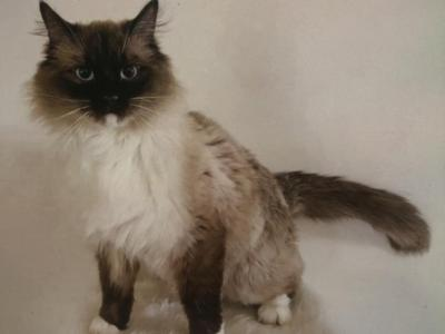 STUD AVAILABLE - Ragdoll - Gallery Photo #1