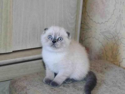 Located In LAsiamesecolor Scottish Fold Blue Point - Scottish Fold - Gallery Photo #1