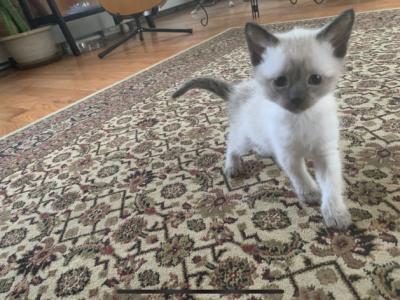 Mashas Kitten - Siamese - Gallery Photo #1