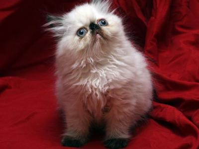Tortie Seal Point By Tipalina X  The Holy Grail 2 - Persian - Gallery Photo #1