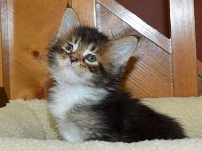 M2 RESERVED - Maine Coon - Gallery Photo #1