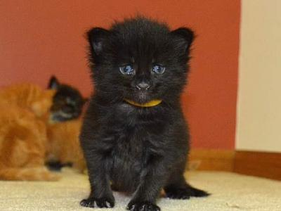 Black Boys RESERVED - Maine Coon - Gallery Photo #1