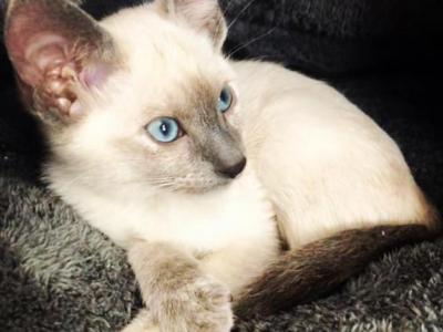 Two Female Blue Tortie Point Ready July 30 - Siamese - Gallery Photo #1