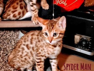 Spyderman - Bengal - Gallery Photo #1
