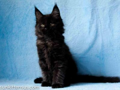 Pure Black Boy Ottoman Maine Coon - Maine Coon - Gallery Photo #1