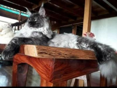 Black Smoke Mainecoon Kittens - Maine Coon - Gallery Photo #1