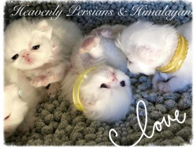 White Angels - Persian - Gallery Photo #1