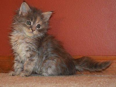 F3 - Maine Coon - Gallery Photo #1