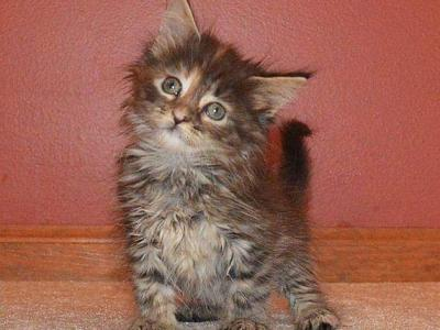 F1 - Maine Coon - Gallery Photo #1