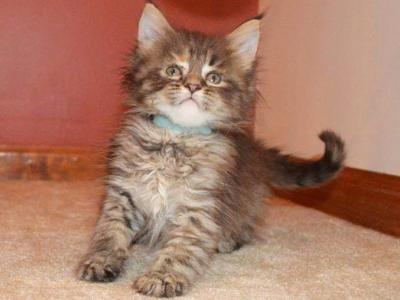 F4 And F5 - Maine Coon - Gallery Photo #1