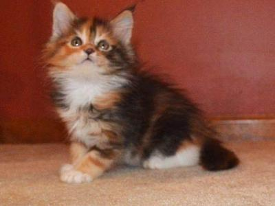 F2 RESERVED - Maine Coon - Gallery Photo #1