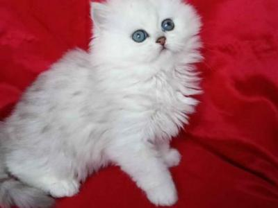 Silver Shaded Persian Girl And Boy Doll Face - Persian - Gallery Photo #1
