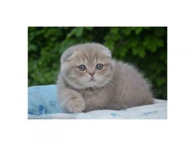 Muffin Plush Lilac Tabby Color Chubby Baby Boy - Scottish Fold - Gallery Photo #1