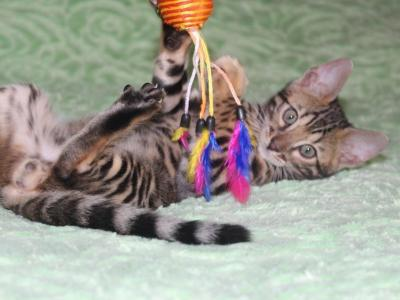 Arnold - Bengal - Gallery Photo #1