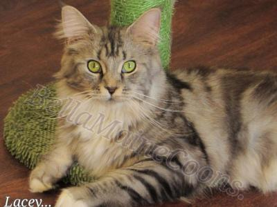 Lacey - Maine Coon - Gallery Photo #1