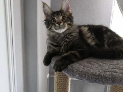 Mentos - Maine Coon - Gallery Photo #1